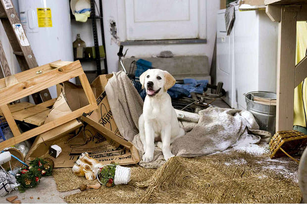 "photo - Marley takes a breather after demolishing the Grogans' garage in ""Marley & Me.""  20th Century Fox Photo"