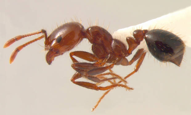 photo - A fire ant is displayed.PHOTO PROVIDED