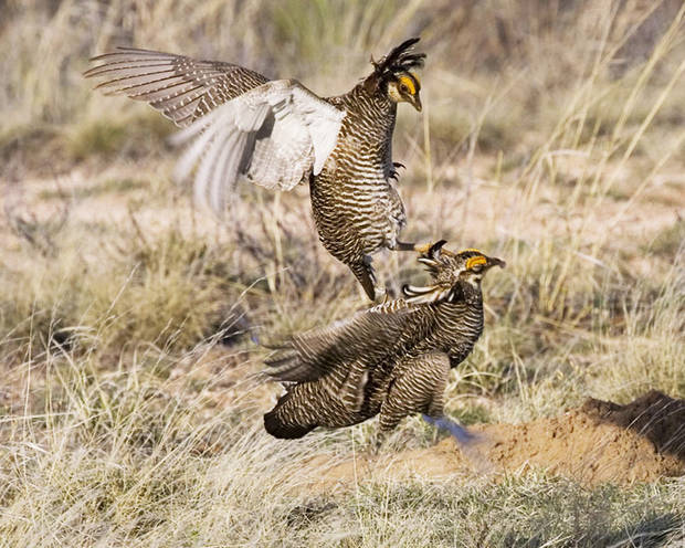 photo - In this spring 2007 photo provided by the Texas Parks and Wildlife Department lesser prairie chickens fight in New Mexico.  AP Photo