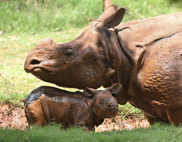 photo -  A newborn Indian rhinoceros stands with his mother, Niki, in a mud wallow at the Oklahoma City Zoo. The as yet unnamed rhino was born at 5:20 p.m. at the zoo June 21. The male calf is the fourth Indian rhino born at the zoo since the zoo added the species in 1981, but the first offspring for 7-year-old Niki. AP Photo   Sue Ogrocki -  AP