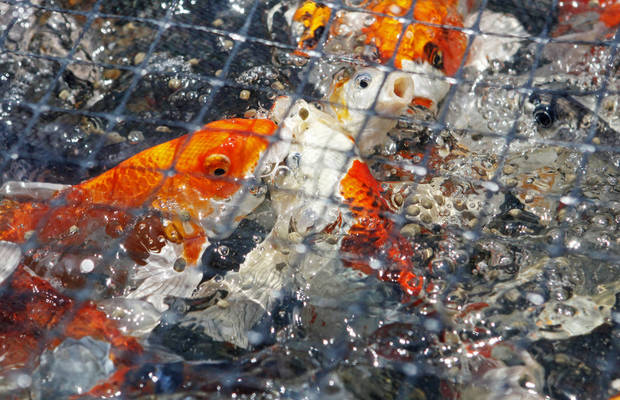 photo -  Koi swim to the surface of the water as they are fed by Conrad Kleinholz at the Kleinholz Koi Farm in Stillwater on Wednesday. Photo by K.T. King, The Oklahoman   KT King