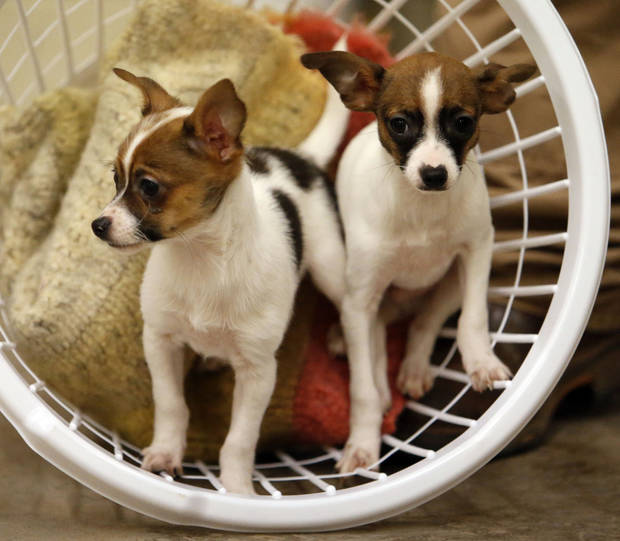 Sherlock Holmes and John Watson, two Chihuahua/Rat Terrier mix puppies, at Norman Animal Welfare, on March 26, 2015. Photo by Steve Sisney, The Oklahoman