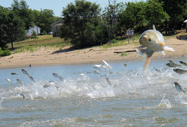 photo - This June 13 photo shows Asian carp, jolted by an electric current from a research boat, jumping from the Illinois River near Havana, Ill. Biologists with the Oklahoma Department of Wildlife Conservation have found Asian carp in the Red River and the Neosho River. AP PHOTO