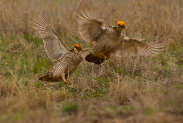 photo - Prairie chickens are edging closer to be listed by the U.S. Fish and Wildlife Service as a threatened or endangered species and wind farms are pushing more of them from their homes. Photo provided