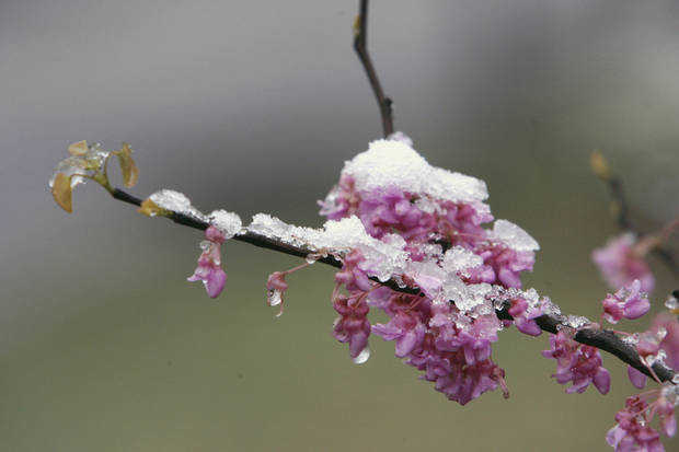photo - This blooming redbud tree is coated with a frosting of snow Saturday in north Oklahoma City, where only an inch of snow fell. PHOTO BY PAUL HELLSTERN, THE OKLAHOMAN