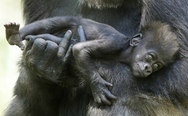 photo - Kelele, a western lowland gorilla, holds her two and a half month old baby, Leom, at the Oklahoma City Zoo, Tuesday April 30, 2013. Leom was born in February on Valentine's Day. Photo By Steve Gooch, The Oklahoman