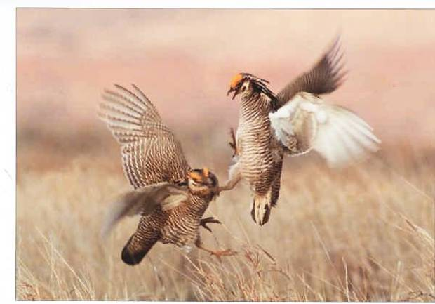 photo - Male prairie chickens start fighting to try and impress a hen. Birders from across the country and Canada are in northwest Oklahoma this weekend to watch the annual courtship rituals of the lesser prairie chicken.  Photo provided by Larry Brown