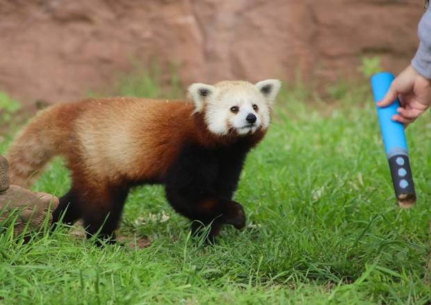 "The red pandas are among the animals that will be participating in ""Star Wars""-theme enrichment activities today at the Oklahoma City Zoo. Photo provided"