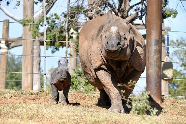 The Oklahoma City Zoo is inviting the public to vote on names for its baby female Indian rhino, which was born Oct. 23. She is the second offspring for Niki, 13. [Sabrina Heise photo]