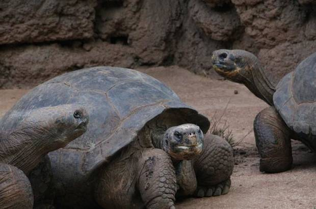 Galapagos Tortoises are among the various turtle species that live at the Oklahoma City Zoo. [Photo provided]