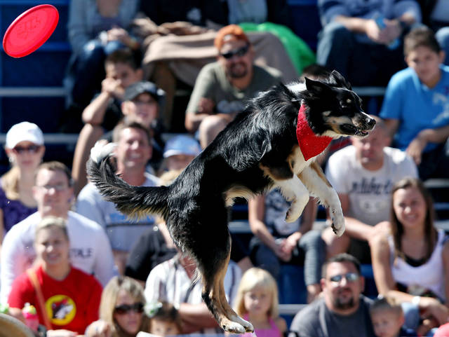 The wind carries Samson's frisbee in an unexpected direction during a performance at the Oklahoma State Fair in Oklahoma City, Sept. 26, 2010. Photo by John Clanton, The Oklahoman