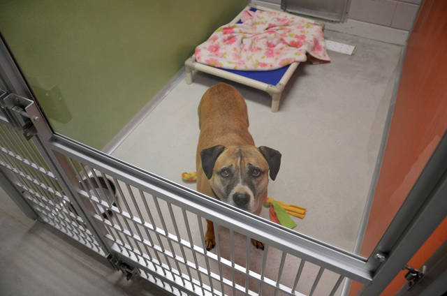 This undated publicity photo provided by the ASPCA shows Musketeer, a five-year-old Shepard-pit bull mix, in the indoor portion of his kennel at the ASPCA Behavioral Rehabilitation Center in Madison, N.J. Musketeer is available for adoption at St. Hubert's. (AP Photo/ASPCA)