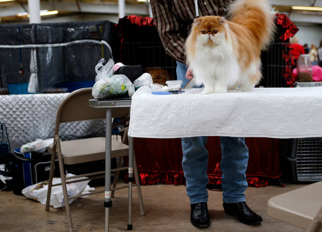 Heist, a bi-color Persian is groomed by Jack Nichols during the Oklahoma City Cat Club cat show in Oklahoma City, Saturday, April 6, 2013. Photo by Bryan Terry, The Oklahoman