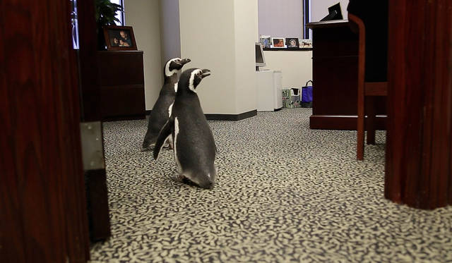 Magellanic penguins Penny and Pete explore an office as SeaWorld visited the OPUBCO on Thursday, Feb. 21, 2013, in Oklahoma City, Okla. Photo by Doug Hoke, The Oklahoman