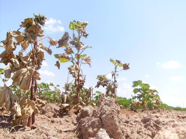 This cotton field in Altus shows the effects of the drought in 2011. The southwest Oklahoma city continues to suffer from lack of rain. City leaders have issued water restrictions as the level of the reservoir that provides water for the city has dropped. OKLAHOMAN ARCHIVE PHOTO <strong>MICHAEL BUSH - MANAGING EDITOR, ALTUS TIMES</strong>