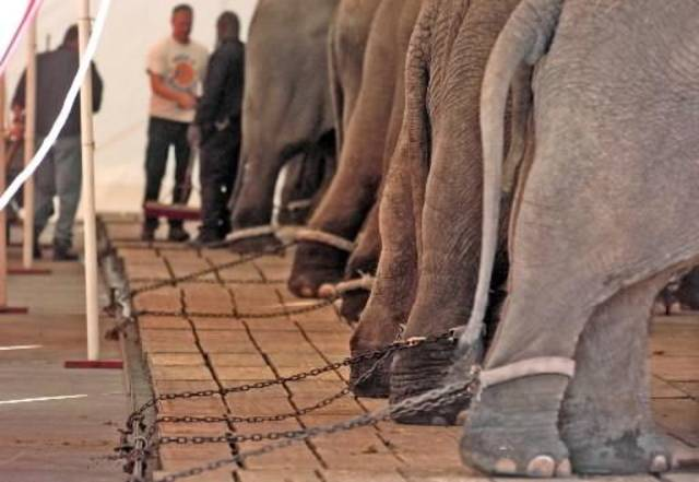This photo provided by the Animal Protection Institute taken in January 2005 in Jacksonville, Fla., shows elephants of  Ringling Brothers  Circus being chained immediately after their unloading from the transport train and walk to the arena. A federal judge Wednesday Dec. 30, 2009, ruled in favor of the  Ringling  Bros. and  Barnum &  Bailey  Circus in a case brought by animal rights activists who accused the  circus of abusing elephants. U.S. District Court Judge Emmet Sullivan said former  Ringling employee Tom Rider and the Animal Protection Institute did not have legal standing to sue the  circus, owned by Feld Entertainment Inc. Rider and the animal protection group brought the lawsuit under the Endangered Species Act. (AP Photo/Animal Protection Agency, Bradley Stookey, File)