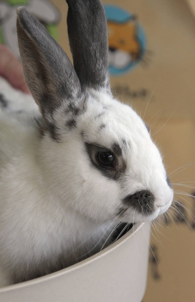 Roger is a one to two-year-old English Spot rabbit available at Norman Animal Welfare, 3428 South Jenkins, on Tuesday, Nov. 22, 2011, in Norman, Okla.  He is a neutered male.  The fee is $30.  For additional information call 405 292 9736. Photo by Steve Sisney, The Oklahoman