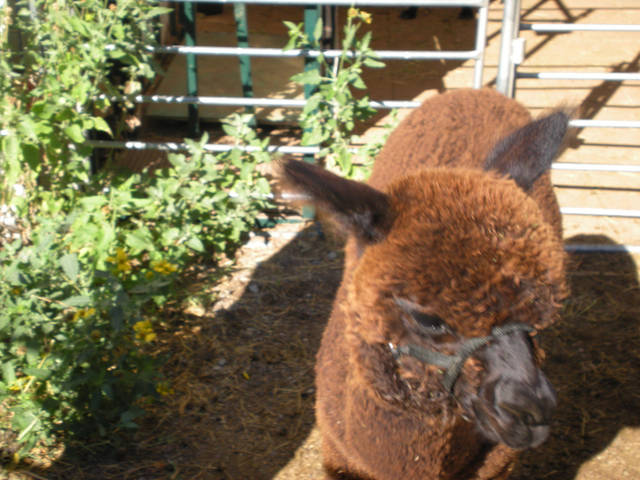 Constantine Le Noir, baby alpaca on the move. - PHOTO BY MARY PHILLIPS, THE OKLAHOMAN