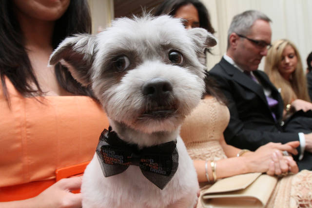 "Wearing a bow tie for the occasion, Blue Joie is held by his owner Ingrid Robinson of New York, as they and others wait for the start of the most expensive wedding for pets Thursday July 12, 2012 in New York. The black-tie fundraiser, where two dogs were ""married"", was held to benefit the Humane Society of New York. (AP Photo/Tina Fineberg)"