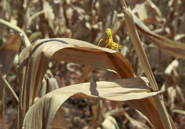 A grasshopper sits on a dried up leaf on a stalk of corn in a field near Edmond, Okla., Thursday, July 19, 2012. Oklahomans are bracing for another hot, dry summer as the drought in the state intensifies and forecasters say triple-digit heat with little chance of rain is to continue. (AP Photo/Sue Ogrocki) ORG XMIT: OKSO106