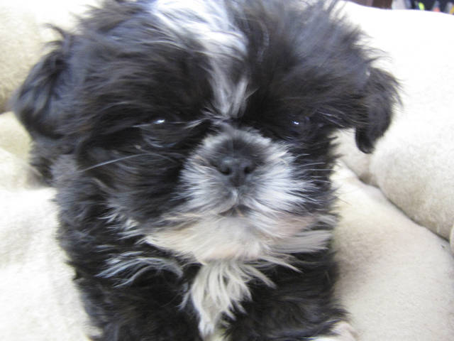 This shih tzu puppy that was stolen Dec. 17 from a Noble kennel has been recovered, Cleveland County sheriff's deputies report. PHOTO PROVIDED
