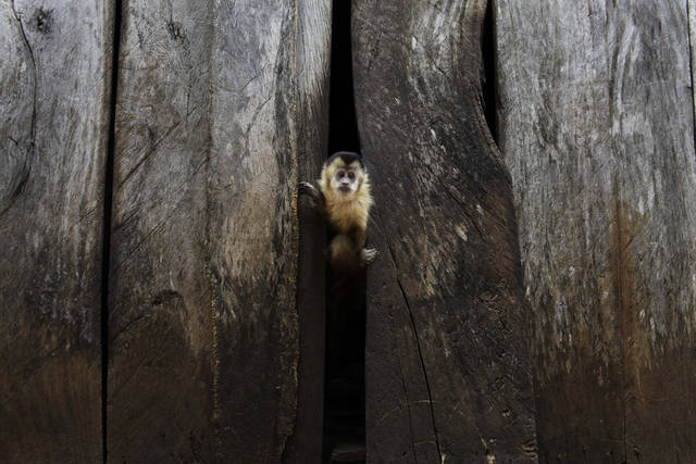 In this Nov. 14, 2012 photo, a titi monkey peeks through a wall at the home of the Aguero and Romero family in the Carro Cue settlement near Curuguaty, Paraguay. The family's son De Los Santos was killed and daughter Lucia was imprisoned during the �Massacre of Curuguaty� on June 15 when negotiations between farmers occupying a rich politician's land ended with a barrage of bullets that killed 11 farmers and 6 police officers. Most of the occupiers came from Yby Pyta, or �Red Dirt� in the native Guarani, a settlement of wooden shacks that runs along the asphalt highway that carries soy to Brazil.  (AP Photo/Jorge Saenz)