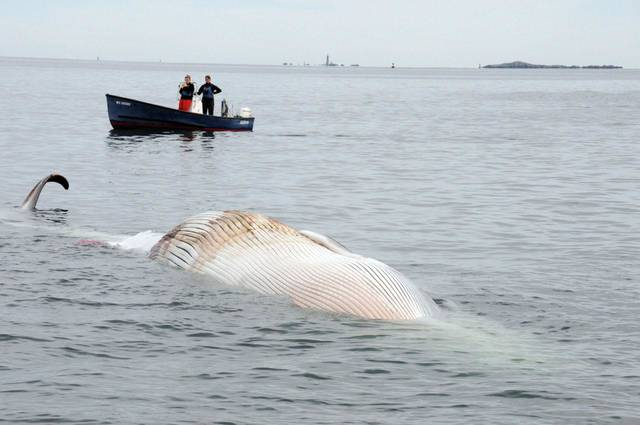   In this photo provided by the New England Aquarium, boaters watch as a dead 30-foot finback whale floats in the Boston Harbor, near Deer Island, Sunday, Oct. 7, 2012. Authorities don&#039;t know the cause of death. Coast Guard Petty Officer Robert Simpson says the whale was spotted early Sunday. Simpson says the Coast Guard took a team from the New England Aquarium to examine the whale and take samples. (AP Photo/The New England Aquarium)  