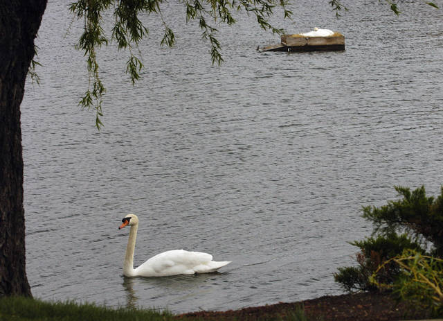 In this photo taken April 16, 2012, a female swan nests as a male swan patrols the area on the pond of a condominium complex in Des Plaines, Ill. Officials say an aggressive swan at the pond may have contributed to the death of a 37-year-old kayaker Saturday, April 14. Cook County sheriff's spokesman Frank Bilecki says Anthony Hensley, of Villa Park, Ill., may have paddled too close to a nesting swan as he checked on the birds. A jogger reported seeing Hensley fall from the kayak into the water. No one saw any swans attack him, but witnesses said they saw two birds circling him after he fell into the water. He went under as he attempted to swim to shore. (AP Photo/Daily Herald, Bob Chwedyk)