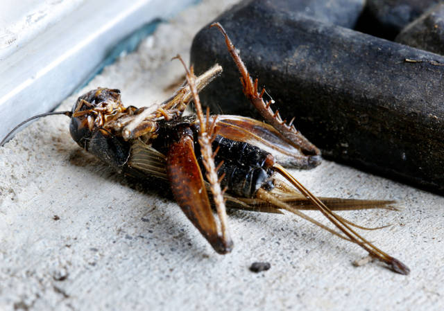 A dead cricket is seen Tuesday in Norman, Okla. Photo by Steve Sisney, The Oklahoman <strong>STEVE SISNEY</strong>