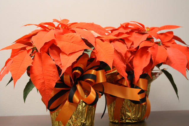 Orange Spice poinsettias, which were sold at this year's OSU-OKC holiday poinsettia sale. <strong> - PROVIDED</strong>