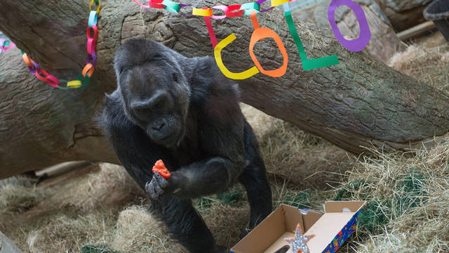 This photo provided by the Columbus Zoo and Aquarium shows 56-year-old Colo eating some food as she celebrates her birthday, Saturday, Dec. 22, 2012, at the Columbus Zoo and Aquarium in Columbus, Ohio. Colo is the oldest gorilla in any zoo. She was born at the Columbus Zoo and Aquarium in 1956. (AP Photo/Columbus Zoo and Aquarium, Grahm S. Jones)