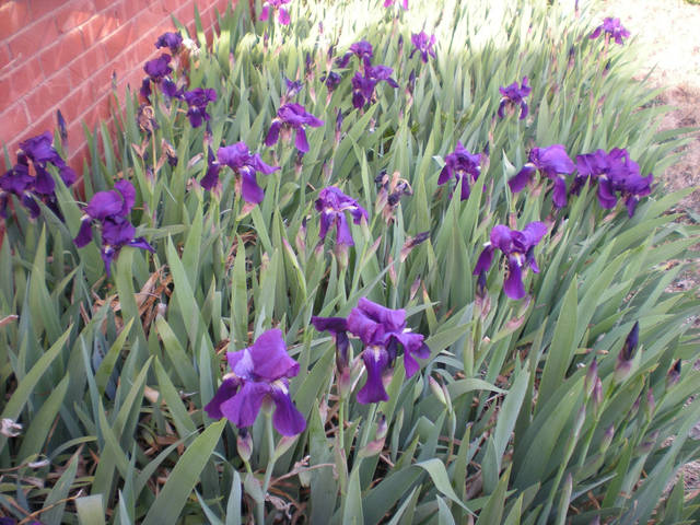 A micro-climate caused by a south facing brick home creates early blooming iris. - PHOTO BY MARY PHILLIPS, THE OKLAHOMAN