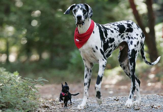 This undated handout photo provided by the journal Science shows Gibson, a Great Dane, right, and  Zoie, a Chihuahua in Grass Valley, Calif. (AP Photo/Science, Deanne Fitzmaurice)