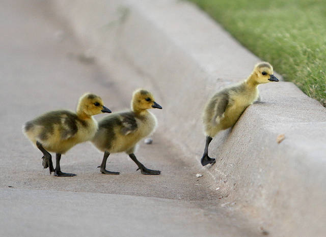 A trio of baby geese try to hop over a curb on the OPUBCO properties in Oklahoma City, Thursday, May 17, 2012. Photo by Sarah Phipps, The Oklahoman