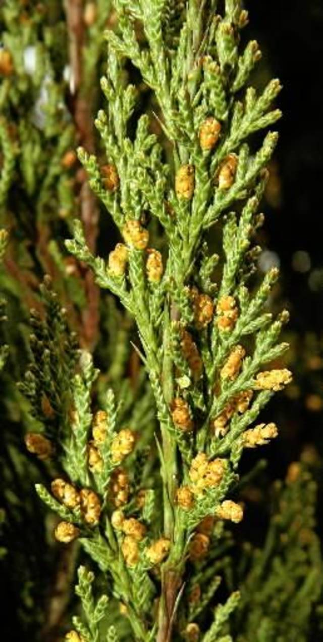 File photo of Eastern Red Cedar in Oklahoma City by Paul B. Southerland