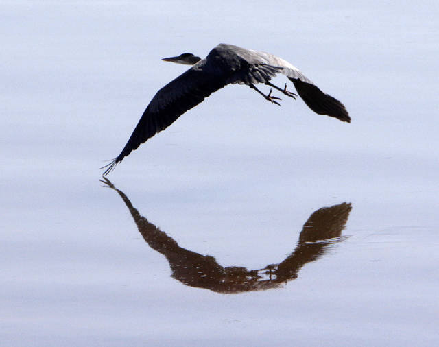 A Great Blue Heron soars across Lake Hefner in Oklahoma City, OK, Monday, Jan. 23, 2012. By Paul Hellstern, The Oklahoman
