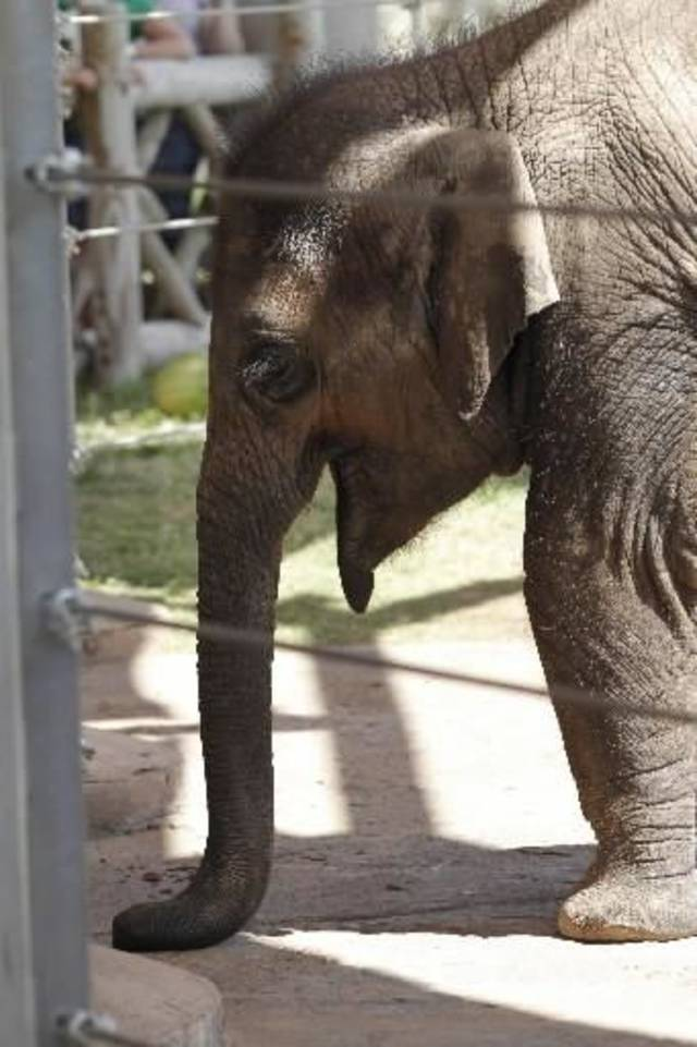 """Malee, the Oklahoma City Zoo's 2-year-old elephant, created several trunk kiss paintings for the """"Art Gone Wild"""" exhibit. (The Oklahoman Archives photo)"""