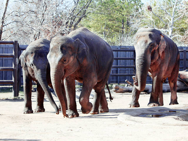 Chandra, left, Asha, center, and Sneezy walk recently through their exhibit at the Tulsa Zoo.   PHOTO BY STEPHEN PINGRY, TULSA WORLD