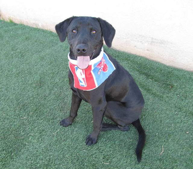 Max is a kind and gentle 3-year-old Labrador. He is shy when he first meets new people but once he knows you�re his friend, he�ll lean against you for petting and hugs. Max likes other dogs and would enjoy having a canine companion in his new family. His Oklahoma City Animal Shelter number is 135670, and his adoption fee is $25. This includes spay or neuter, shots and health check. The shelter is at 2811 SE 29. For information, go to www.okc.petfinder.com or www.okc.gov.  PHOTO PROVIDED
