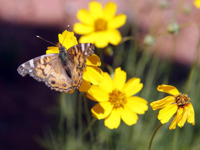 Butterflies dine on nectar from wildflowers along Stella Road on Wednesday, May 9, 2012, in Norman, Okla.     Photo by Steve Sisney, The Oklahoman