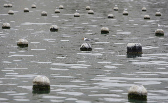 In this Wednesday, April 4, 2012 photo, a bird sits on a floating shells net for pearl oysters in Ras al-Khaimah, United Arab Emirates. Long before the discovery of oil transformed the Gulf, the region's pearl divers were a mainstay of the economy. Their way of life, however, also was changed forever after Japanese researchers learned how to grow cultured pearls in 1930s. Now a collaboration between pearl traders in Japan and the United Arab Emirates had brought oyster farming to the UAE for the first time. (AP Photo/Kamran Jebreili)