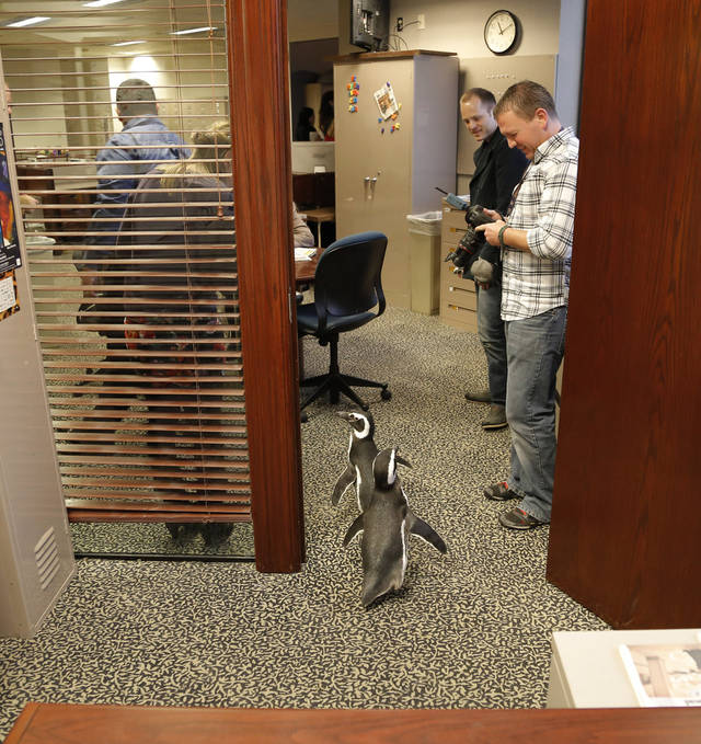 Magellanic penguins Penny and Pete leave Doug Hoke's office as SeaWorld visited the OPUBCO on Thursday, Feb. 21, 2013, in Oklahoma City, Okla. Photo by Doug Hoke, The Oklahoman