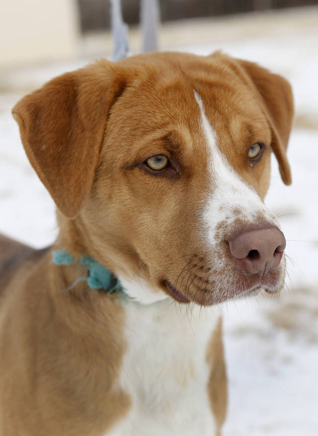 This male, 8-month-old Labrador mix is available for adoption at the Norman Animal Welfare Center, 3428 Jenkins Ave. The shelter�s hours are 9 a.m. to 5:45 p.m. Monday through Friday. For more information, call 292-9736. PHOTO BY STEVE GOOCH, THE OKLAHOMAN