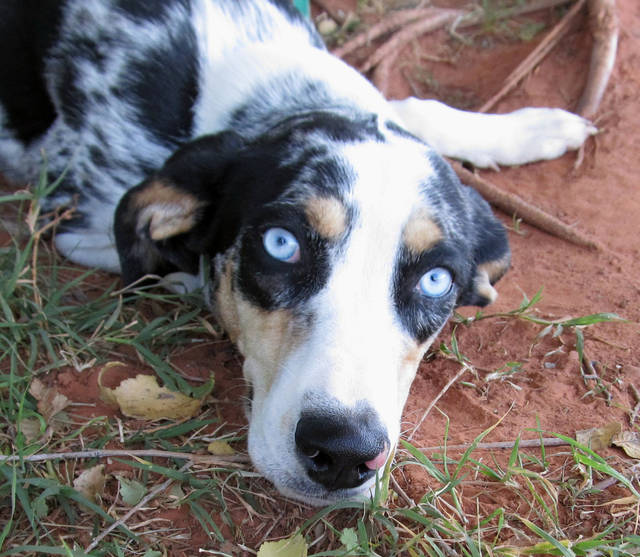 Sara is a 9-month-old blue-eyed Catahoula leopard dog mix. She�s a well-mannered dog who likes lots of petting and hugs. Sara enjoys playing with other dogs, and she likes kids. Her Oklahoma City Animal Shelter number is 127848, and her adoption fee is $25. This includes spay or neuter, shots and health check. The shelter is at 2811 SE 29. For more information, go online to www.okc.petfinder.com or www.okc.gov.  PHOTO PROVIDED BY  OKLAHOMA CITY ANIMAL SHELTER