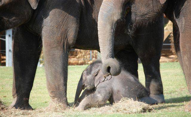 The new baby Asian elephant, her mother Asha and Chandra, all experienced the outdoors together for the first time Thursday, May 5, 2011, at the Oklahoma City Zoo. Photo by Candice Rennels, OKC Zoo.