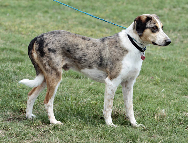 Slate is a neutered male, Catahoula mix available at Norman Animal Welfare, 3428 South Jenkins, on Wednesday, May 9, 2012, in Norman, Okla.  He is house broken, great with people and pets and loves to give hugs, according to staff.  He is current on shots and tests and has an identifying micro chip implant.  The fee is $60.  For additional information call 405 292 9736. Photo by Steve Sisney, The Oklahoman