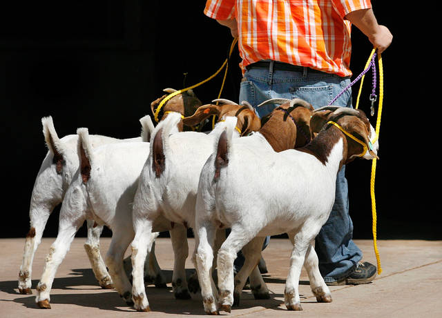 Five goats follow Craig Thompson into a show barn at State Fair Park Friday, March 11, 2011.  Thompson, an ag teacher at Byng High School brought some of his students' animals that will be exhibited at this year's Oklahoma Youth Expo. Thompson said his students had to stay in class so he trailered the goats to Oklahoma City for them.  Photo by Jim Beckel, The Oklahoman