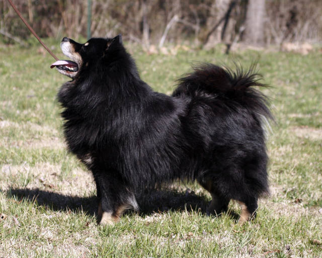 This undated photo courtesy of the Westminster Kennel Club Dog Show shows a Finnish Lapphund. Six breeds will make history this year as the newest breeds eligible to compete at Westminster. (AP Photo/Westminster Kennel Club Dog Show)