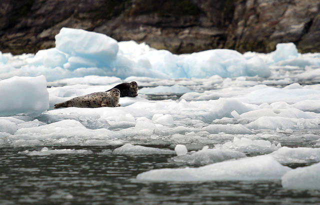 Seals sit on icebergs near the South Sawyer Glacier in Southeast Alaska, Sunday, June 3, 2012.  Photo by Sarah Phipps, The Oklahoman