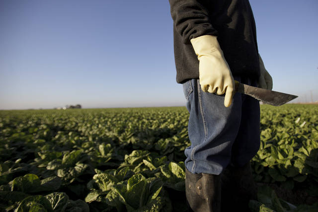 ADVANCE FOR USE MONDAY, APRIL 2, 2012 AND THEREAFTER - In this Jan. 31, 2012 photo, farm worker Manuel Soto holds his knife before beginning work in the lettuce fields near Holtville, Calif. Thousands of Mexicans leave their homes each morning to become a pillar of one of most unusual and depressed labor markets in the United States. California's Imperial Valley consistently registers the nation's highest unemployment rate - 26.4 percent in January - yet it looks south of the border to fill many of its jobs because locals shun $9-an-hour jobs picking crops. Mexicans enter the country legally each morning and return home each night. (AP Photo/Gregory Bull)